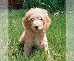 Puppy 7 Bernedoodle-Goldendoodle Mix