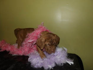 Neapolitan Mastiff Puppy For Sale in LAKELAND, FL, USA