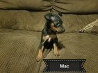 Miniature Pinscher Puppy For Sale in LINTON, IN, USA