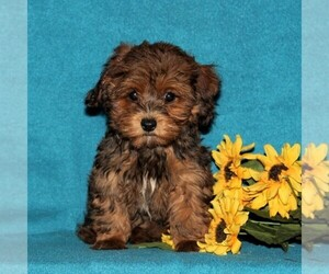 Poovanese Puppy for sale in CHRISTIANA, PA, USA