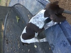 German Shorthaired Pointer Puppy For Sale in TALLAHASSEE, FL