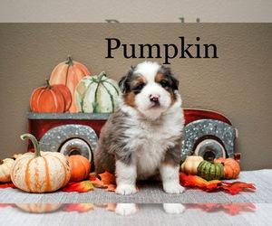Miniature Australian Shepherd Puppy for Sale in PUYALLUP, Washington USA