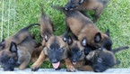 Belgian Malinois Puppy For Sale in MIAMI, FL