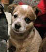 Australian Cattle Dog Puppy For Sale in MARSHALL, NC