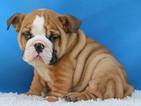 Bulldog Puppy For Sale in HIALEAH, FL,