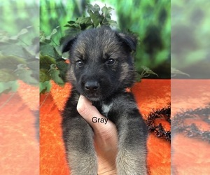 German Shepherd Dog-Siberian Husky Mix Puppy for Sale in LAKELAND, Florida USA