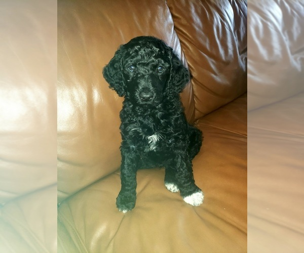 Medium Photo #1 Poodle (Standard) Puppy For Sale in ROGERSVILLE, AL, USA