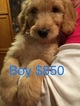 Goldendoodle-Poodle (Standard) Mix Puppy For Sale in GRATIOT, Wisconsin,