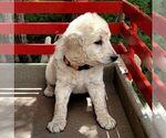 Small #5 Goldendoodle-Poodle (Miniature) Mix