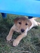 Labrador Retriever Puppy For Sale in BAKER CITY, OR, USA