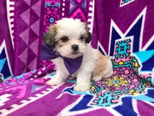 Shorkie Tzu Puppy For Sale in EAST EARL, PA, USA
