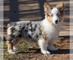 Pembroke Welsh Corgi Puppy for Sale in LUTHER, Oklahoma USA