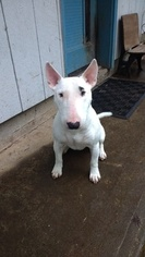 Bull Terrier Puppy for sale in WOODLAND, WA, USA