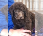 Small #14 Labradoodle