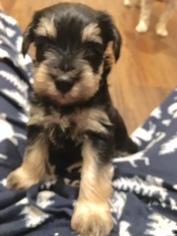 Schnauzer (Miniature) Puppy For Sale in CAMDEN WYOMING, DE, USA