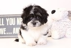 Zuchon Puppy For Sale in NAPLES, FL
