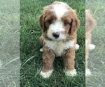 Puppy 4 Labradoodle-Poodle (Miniature) Mix
