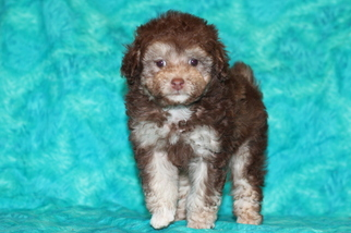 View Ad Poodle Toy Puppy For Sale Near Louisiana Gray