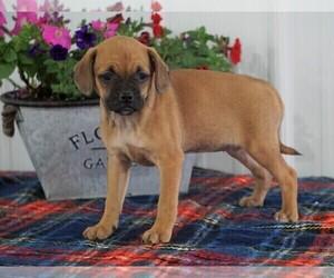 View Ad: Puggle Puppy for Sale near Ohio, FREDERICKSBG, USA