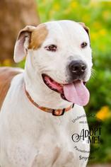 SNYDER - Boxer / Hound / Mixed (short coat) Dog For Adoption