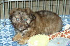 Poodle (Toy)-Shih Tzu Mix Puppy For Sale in ORO VALLEY, AZ, USA