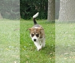 Australian Cattle Dog-Bordernese Mix Puppy For Sale in NEW YORK MILLS, MN, USA