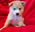 Pomsky Puppy For Sale in CENTRALIA, MO, USA