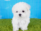Maltese Puppy For Sale in LA MIRADA, CA, USA