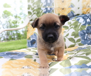 Jug-Norwegian Elkhound Mix Puppy for sale in SHILOH, OH, USA