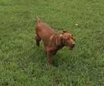 Small Photo #4 Vizsla-Weimaraner Mix Puppy For Sale in KILLEN, AL, USA