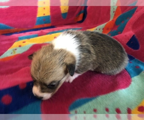 Medium Photo #2 Pembroke Welsh Corgi Puppy For Sale in RAMONA, OK, USA