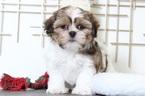 Walter Lovable Little Male Teddy Bear Puppy