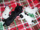 Maltipoo Puppy For Sale in LYNCHBURG, VA