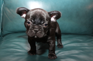 AKC French Bulldogs ready for Christmas