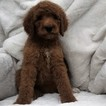 Poodle (Standard) Puppy For Sale in BOULDER, CO, USA