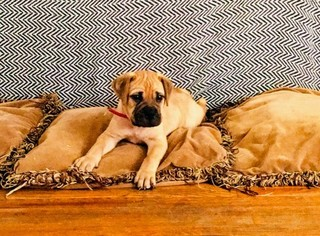 Bullmastiff Puppy For Sale in ROYERSFORD, PA, USA