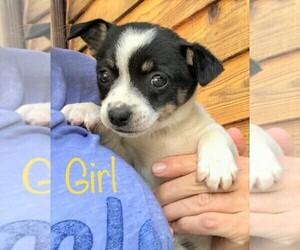 Chihuahua Dog for Adoption in RICHMOND, Michigan USA