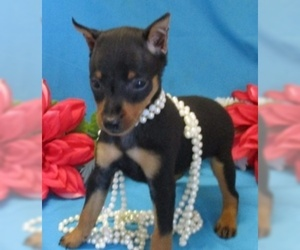 Miniature Pinscher Puppy for Sale in FOYIL, Oklahoma USA