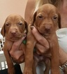 Vizsla Puppies AKC