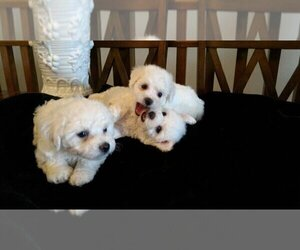 Bichon Frise Puppy for sale in CITY OF SPOKANE VALLEY, WA, USA
