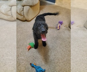 Labradoodle Puppy for Sale in LITTLESTOWN, Pennsylvania USA
