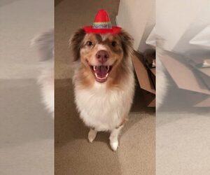 Australian Shepherd Dog For Adoption in OVERLAND PARK, KS, USA