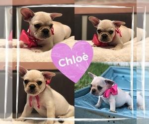 French Bulldog Puppy for Sale in BRANDON, Florida USA