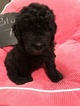 Newfoundland-Poodle (Standard) Mix Puppy For Sale in PARRISH, FL, USA