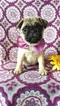 Pug Puppy For Sale in EDEN, Pennsylvania,