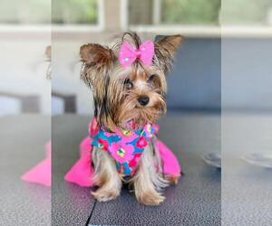 Yorkshire Terrier Puppy for sale in PALO ALTO, CA, USA