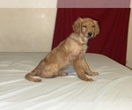 Small #20 Goldendoodle-Poodle (Standard) Mix
