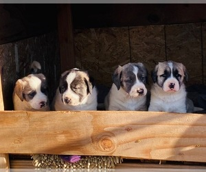 Anatolian Shepherd Puppy for sale in ACTON, CA, USA