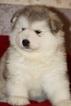 Alaskan Malamute Puppy For Sale in OAKRIDGE, OR, USA