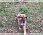 Puppy 4 German Shepherd Dog-Greater Swiss Mountain Dog Mix